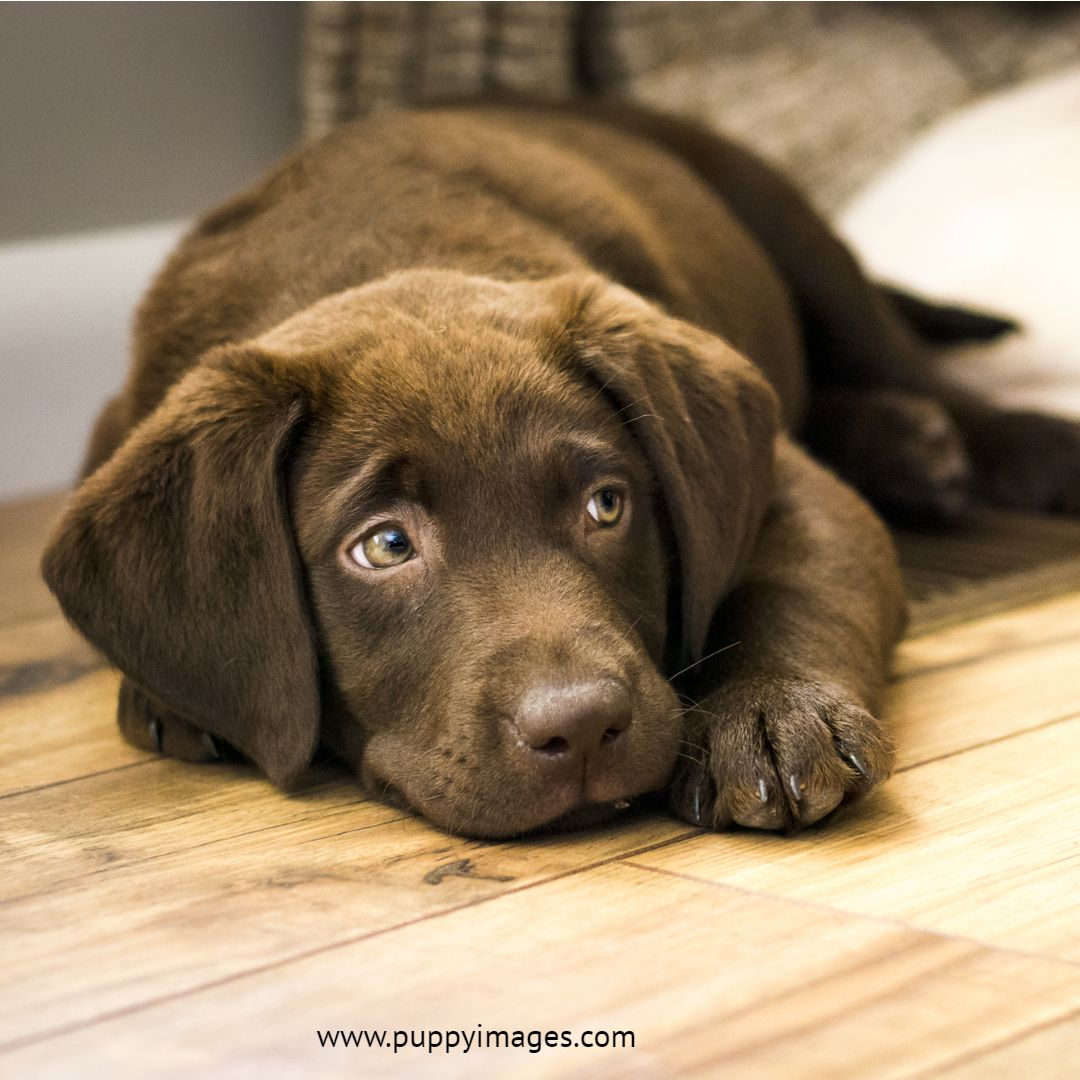 Chocolate Labrador Puppy Resting On Wood Floor Labrador