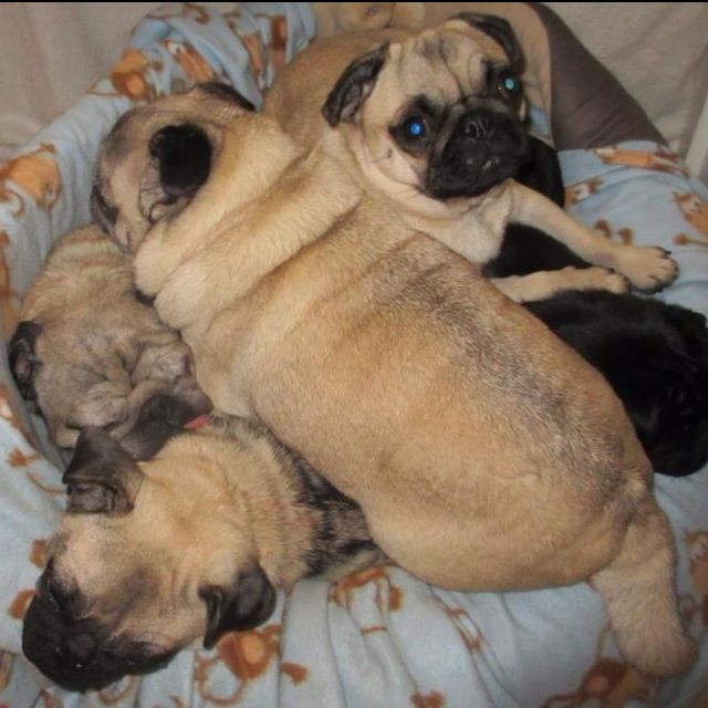 A Pile Of Pugs Courtesy Of Pug Rescue Adoption Victoria Xoxo