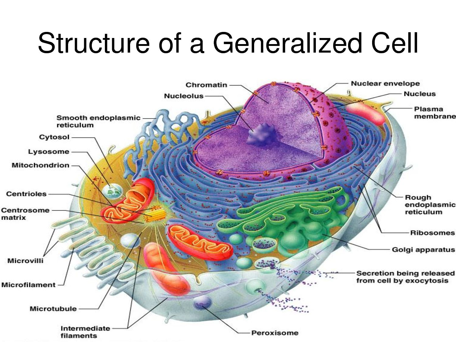 hight resolution of labelled diagram of a human cell similiar what are the parts of a human cell keywords