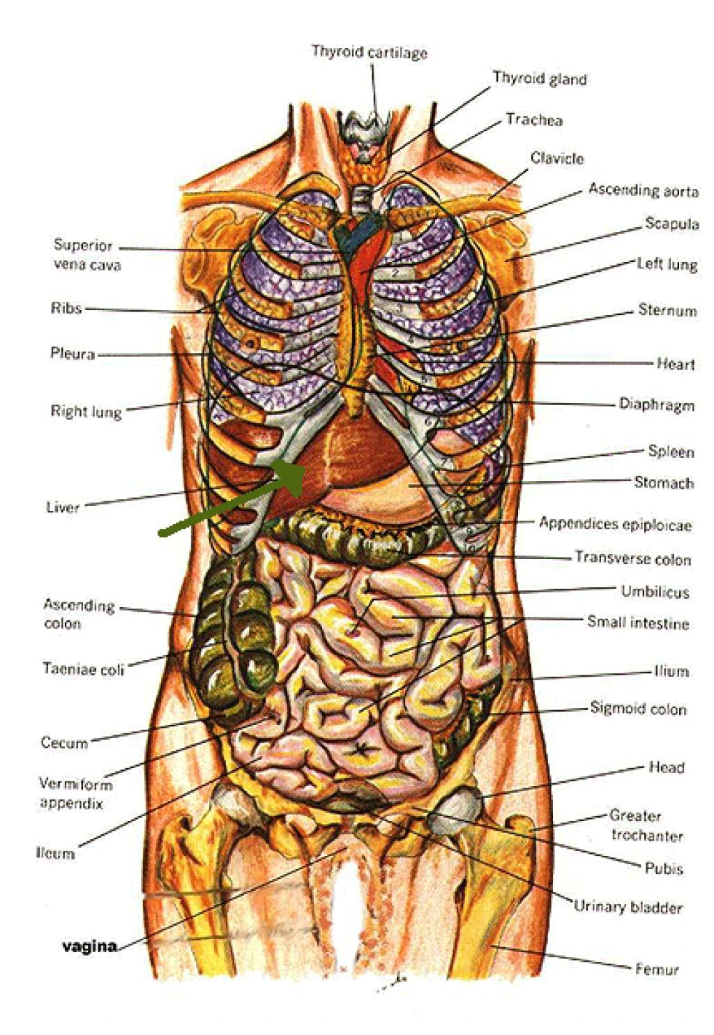 Organ Map Human Body Human Body Anatomy Human Body Organs Human