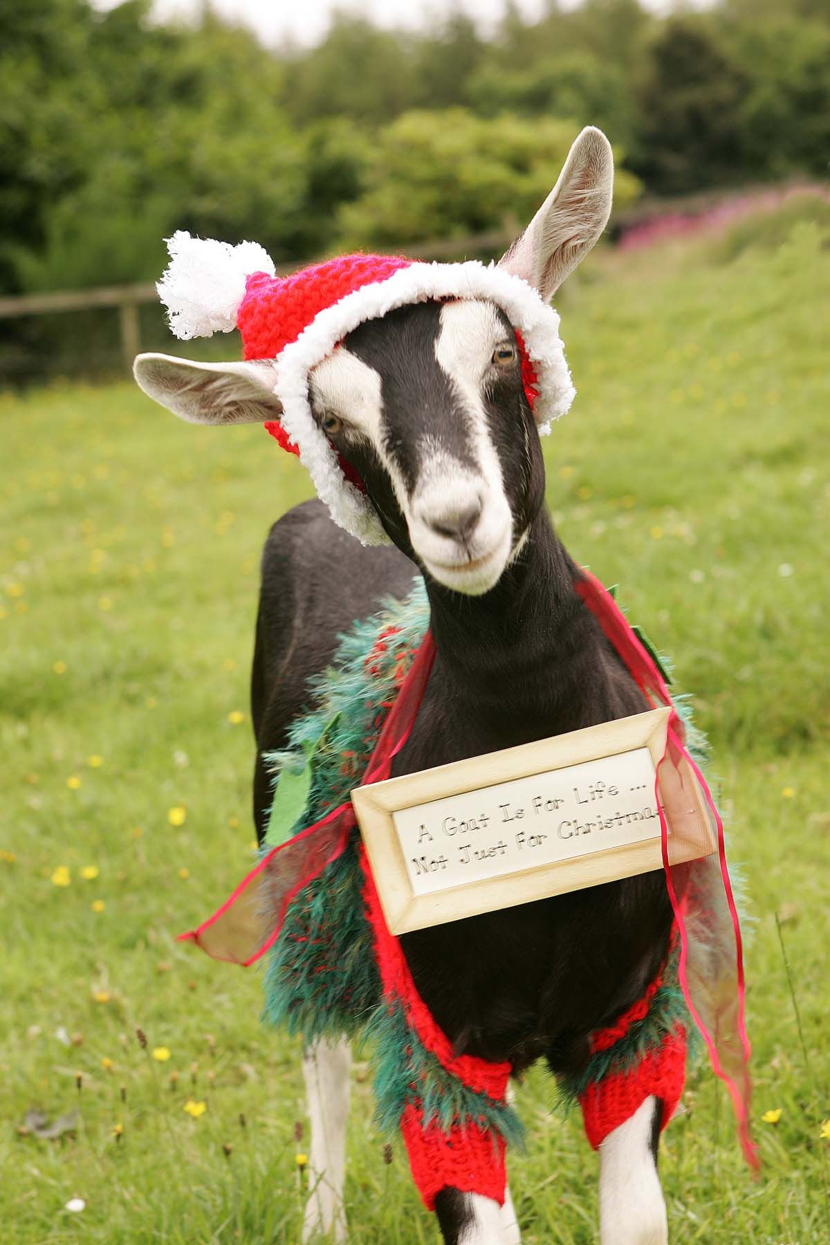 Christmas Goat.Pin On Nature Shop