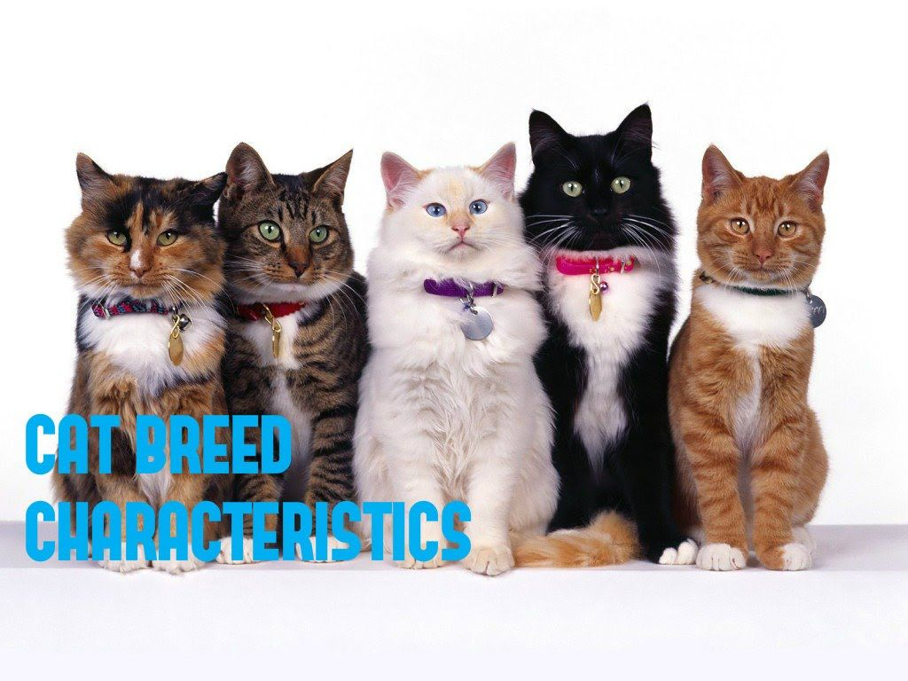 List Domestic Cat Breeds You Should Know Before Adopt A Cats