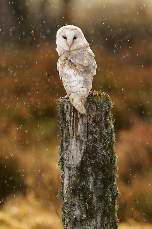 Lechuza. Buho. Owl.