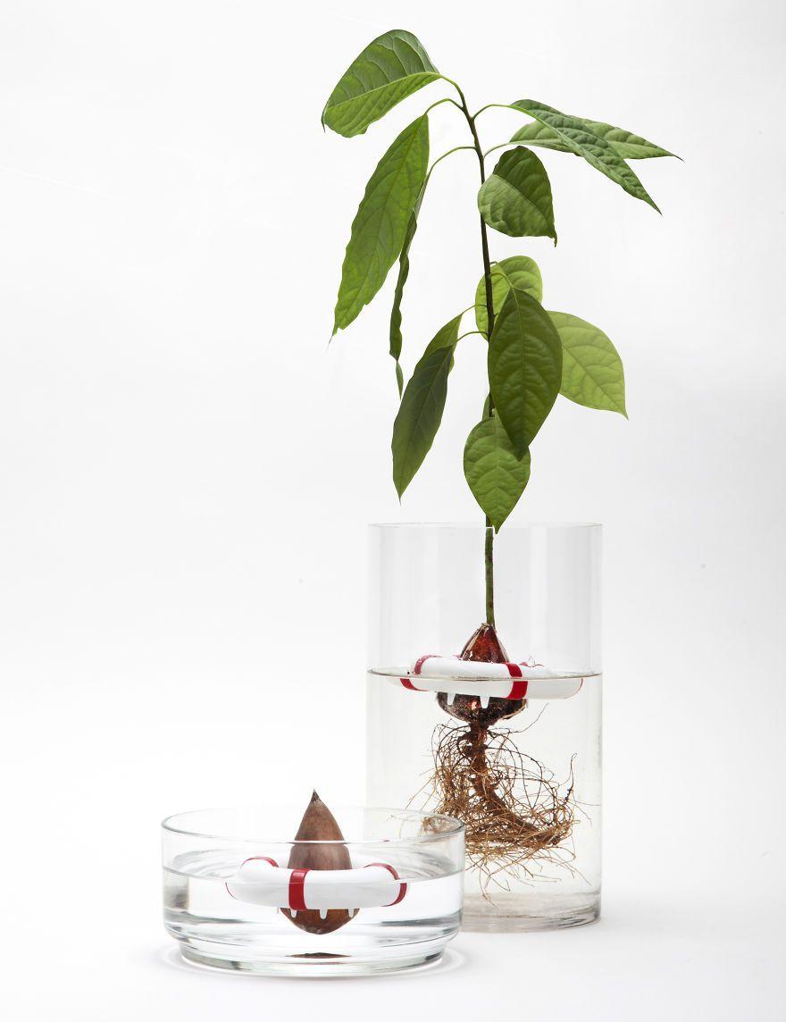 Nocciolo Di Avocado In Acqua your avocado seed will grow safely into a beautiful tree
