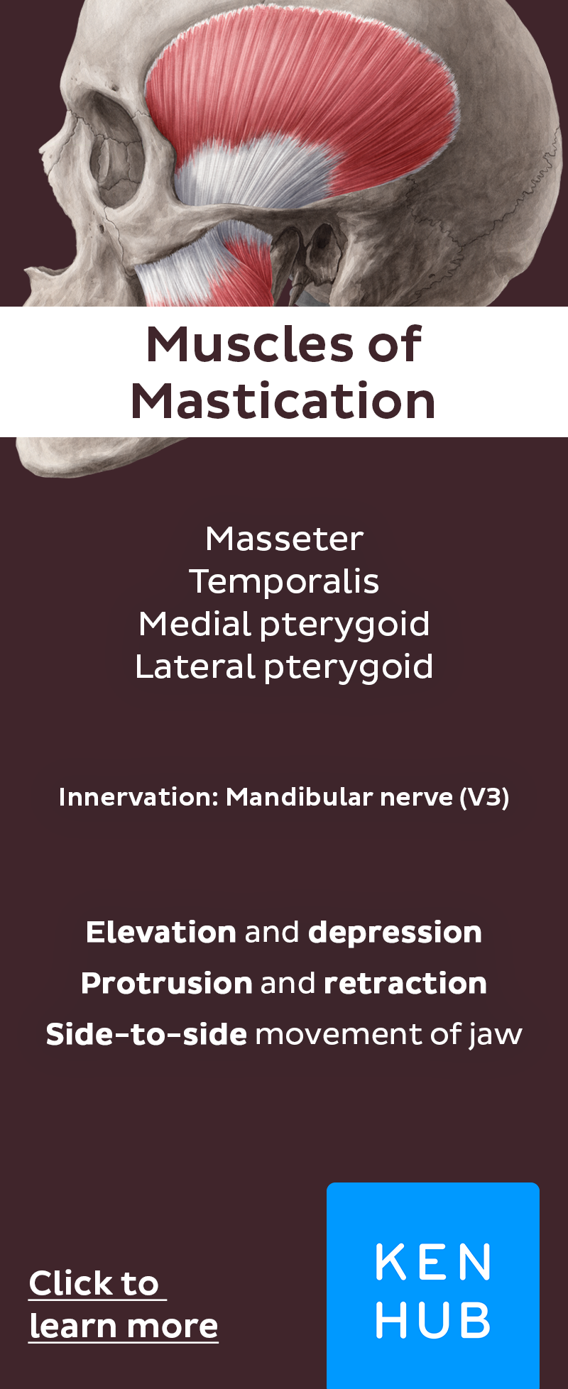 Muscles of Mastication | Human anatomy, Anatomy and Muscles