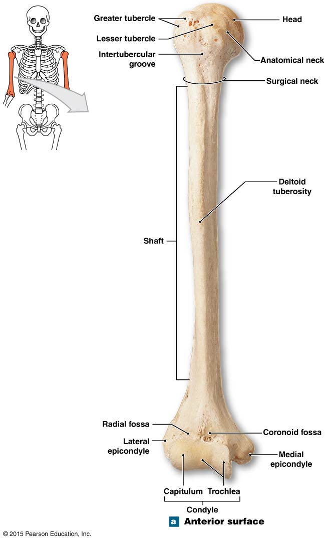 The parts of the condyle of the humerus. | Anatomy and physiology ...