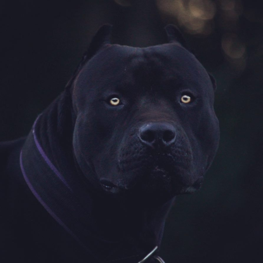 Light Is Easy To Love Show Me Your Darkness Xdp Prague Headshot Sunset Dusk Model Beauty Beast Dark Pitbull Terrier Bully Breeds Dogs Scary Dogs