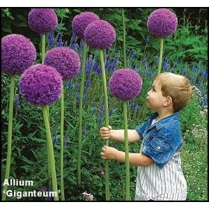What Is Wasabi Good For Flores Allium Plantas Con Flores Jardin De Flores