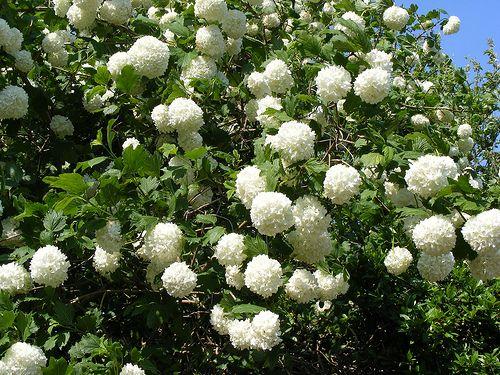 Viburno palla di neve colori di maggio piccoli for Decorazioni giardino aiuole