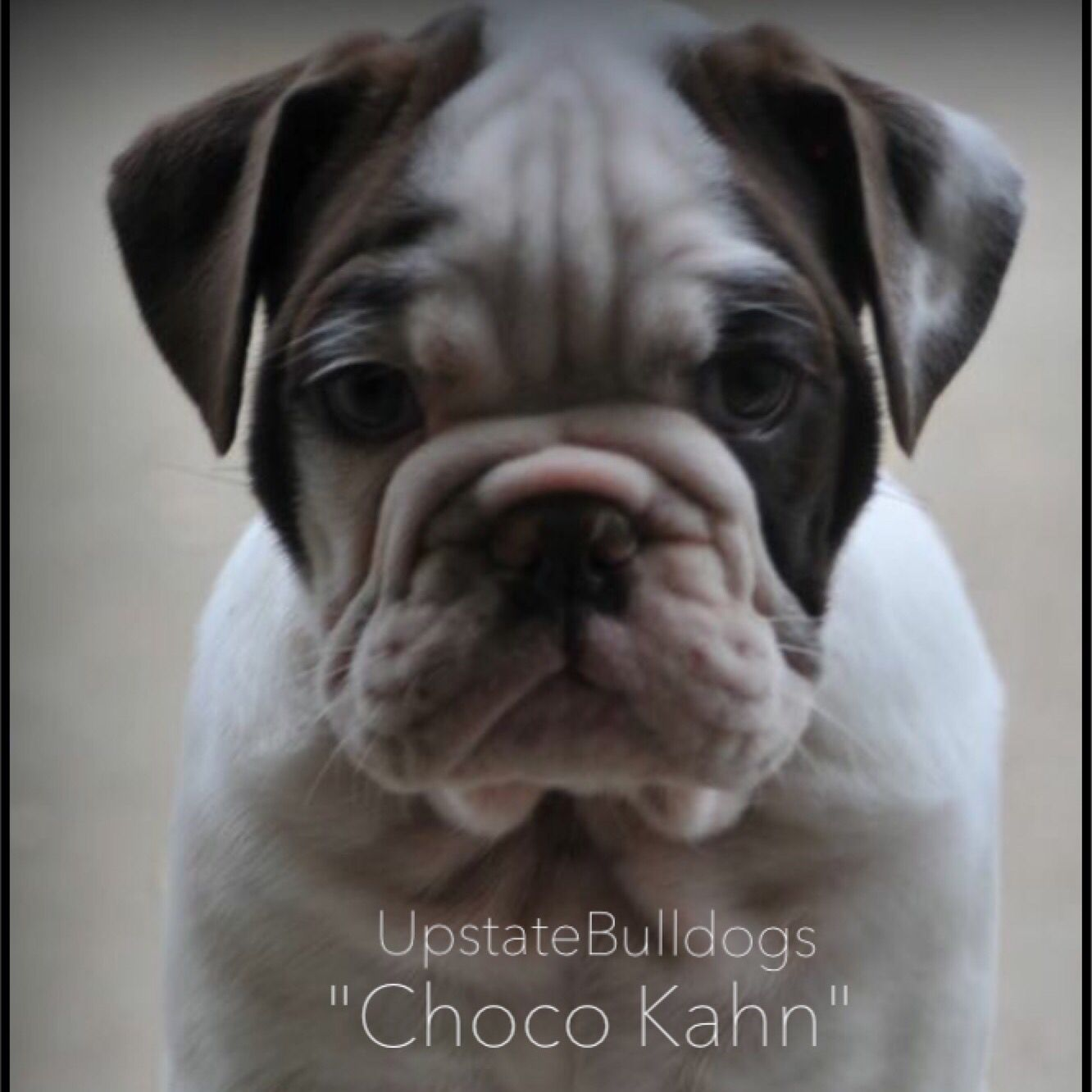 Upstatebulldogs Available For New Homes Contact Us Today To