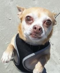 Joey in RI ---COME MEET ME!!!! is an adoptable Chihuahua Dog in Providence, RI.  COME MEET ME AT THE SUPER DOG ADOPTION EVENT!!!!! SATURDAY 5/4 --- 10AM -4PM MORNING STAR HORSE FARM SAUNDERSTOWN RI ....