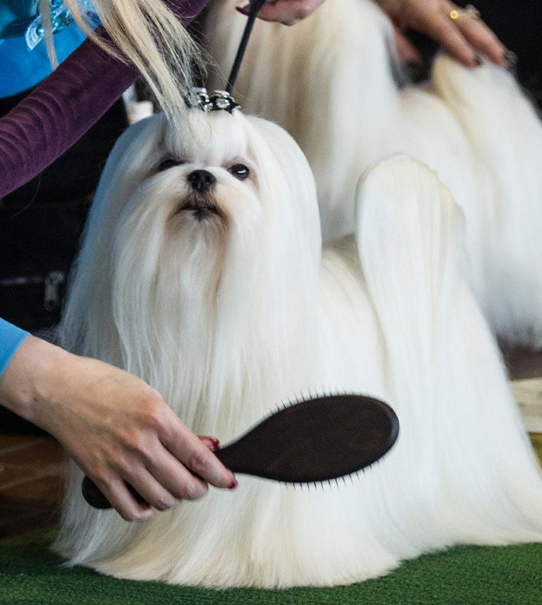 138th Annual Westminster Dog Show Long Haired Maltese Groomed I