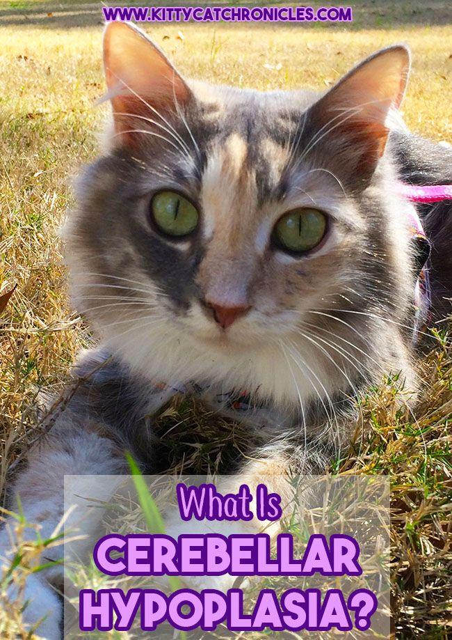 What is Cerebellar Hypoplasia Fleas, Adventure cat, Cat