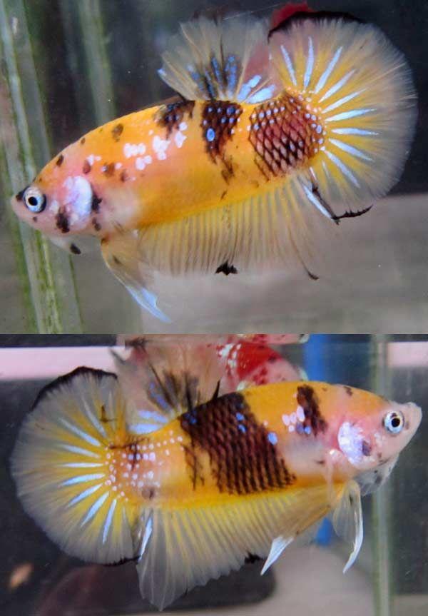 Fwbettashmp1431781152 yellow koi hmpk male p261 koi for Male koi fish