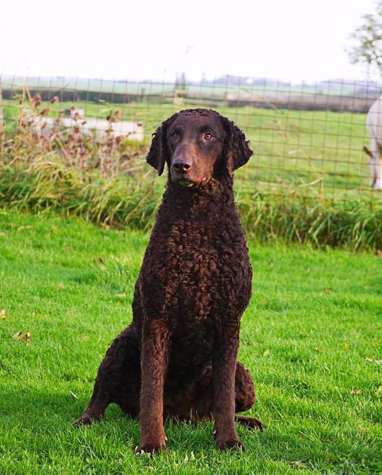 Curly Coated Retriever Curly coated retriever, Dog