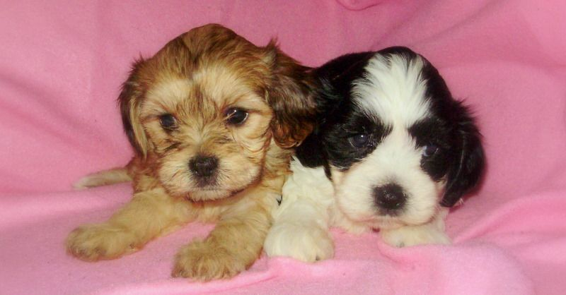 Cavachon puppies -  A & E Kennels, Danielsville, GA