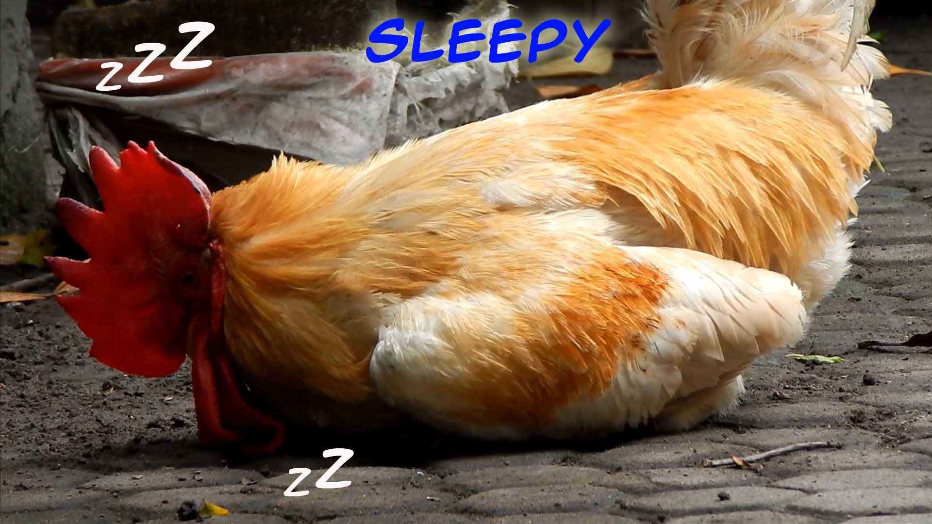 Ayam Pedaging Lucu Ktawaayo Ketawa