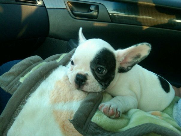 Frenchie Aria Wants A White Dog With A Black Spot I Think This