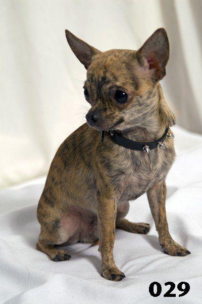 Brindle Chihuahua Chihuahua Dogs Chihuahua Cute Chihuahua