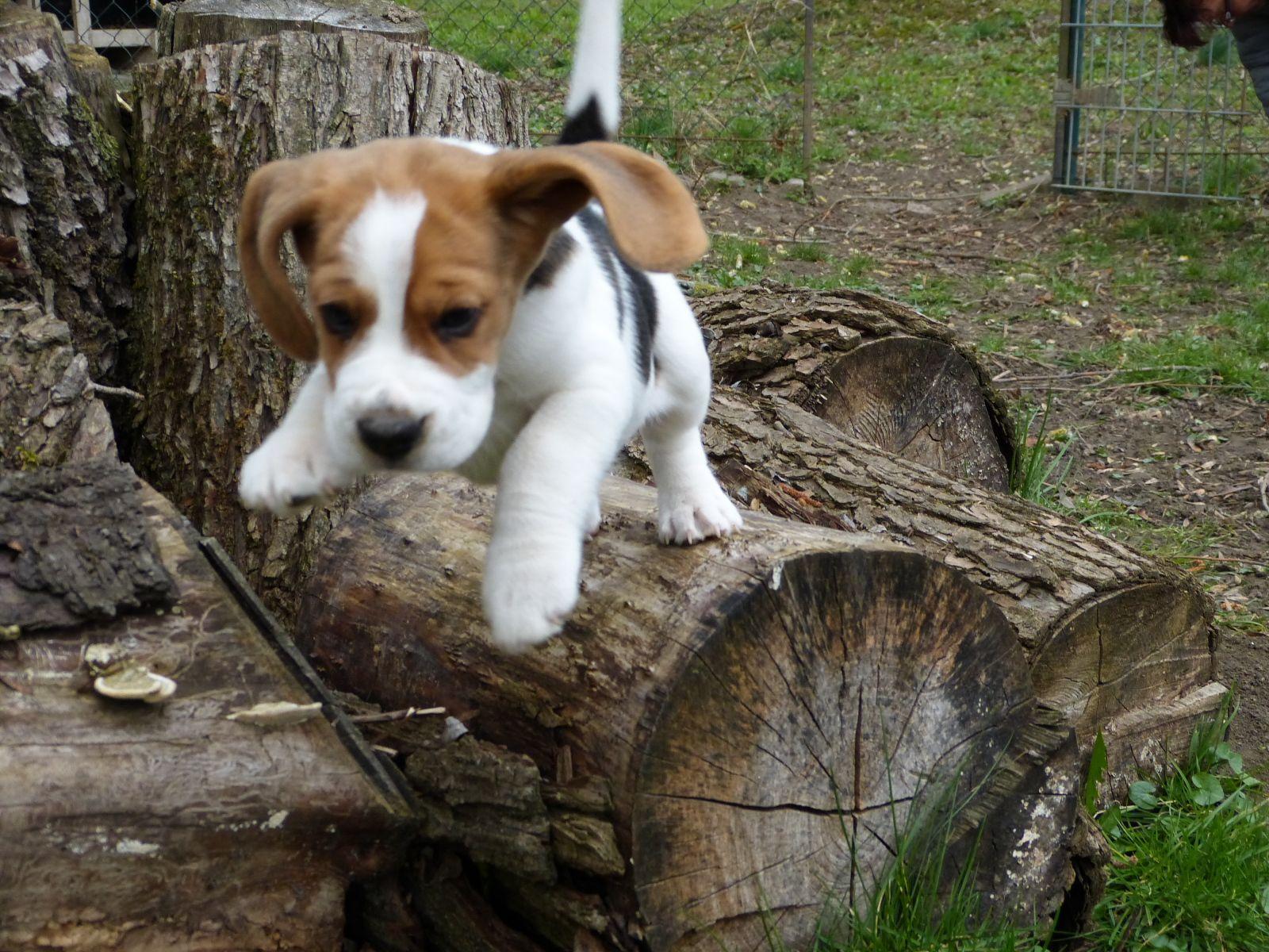 Pin von zinablekk auf Beagle