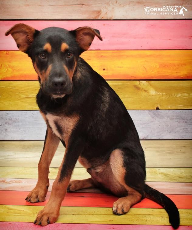 Adopt Blake On Rottweiler Puppies German Shepherd Adoption