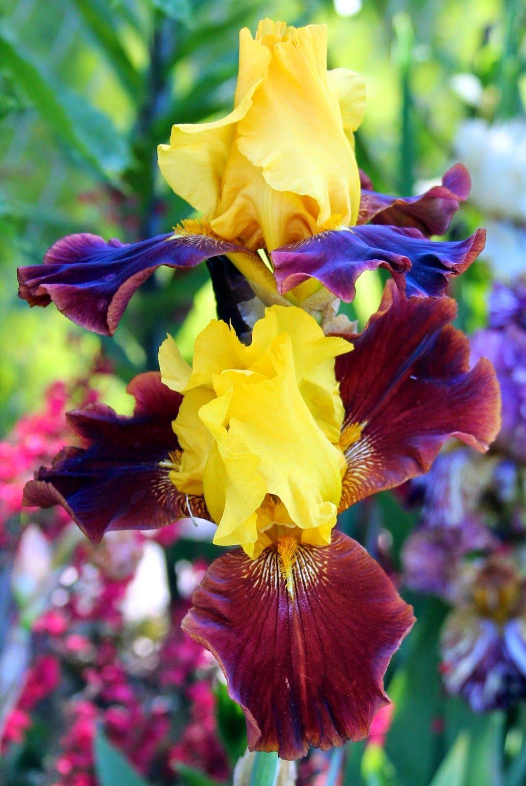 Пятигорск, где можно в магнитогорске купить ирисы цветы