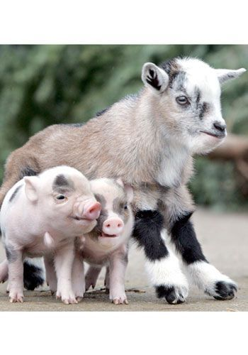 goatvet likes this photo of these Nigerian dwarf goat kids from ...