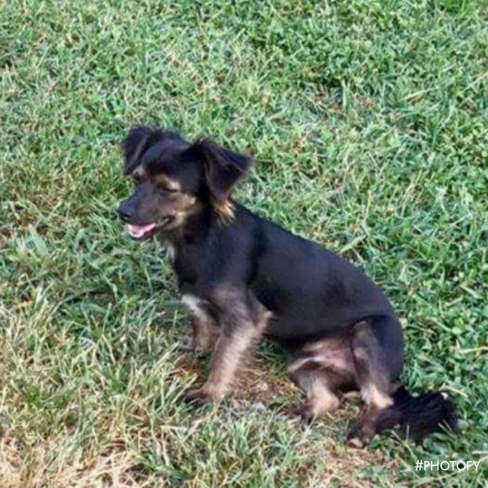 Chiweenie dog for Adoption in Lockport, NY. ADN725273 on
