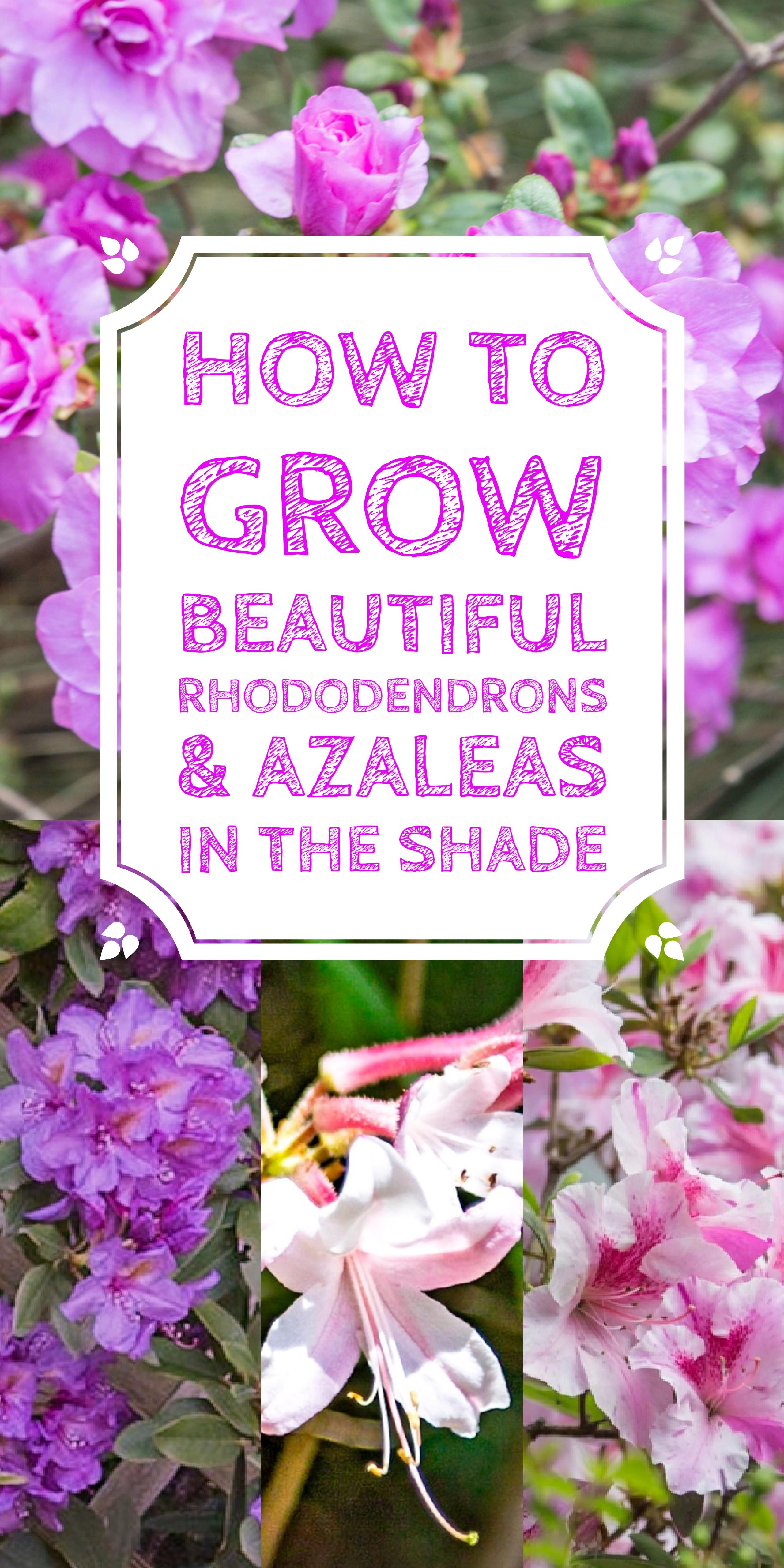 Rhododendron Care How To Grow Beautiful Rhododendrons And Azaleas