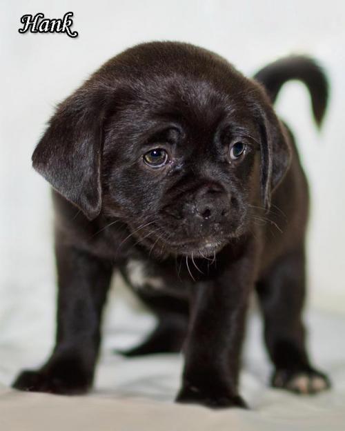 Hank is an adoptable Pug, Cocker Spaniel Dog in Shamokin