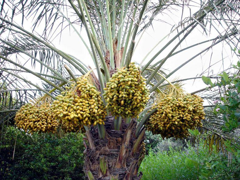 Dates And Palm Iran Fruit Garden Palm Persian Pattern