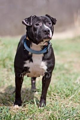 Pictures of Squeaker a American Pit Bull Terrier for adoption in Bedford, IN who needs a loving home.