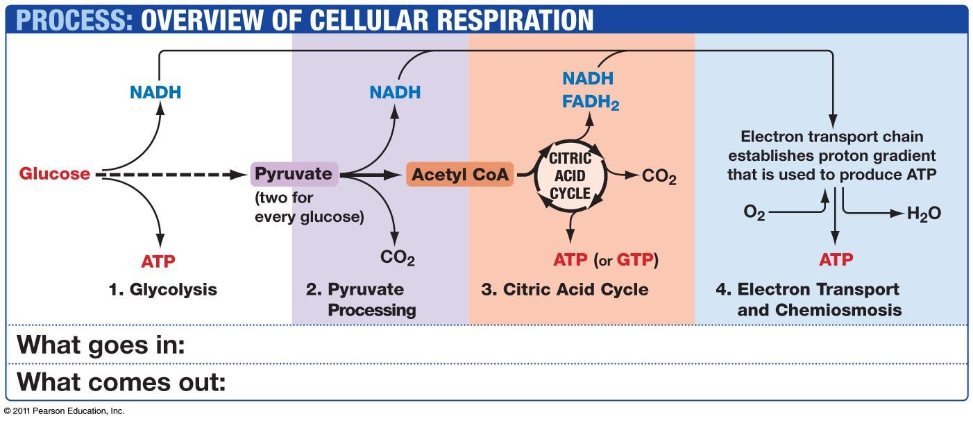Explain Krebs Cycle With Diagram Vw Polo 2007 Radio Wiring Pearson Cellular Respiration Overview - Best Secret