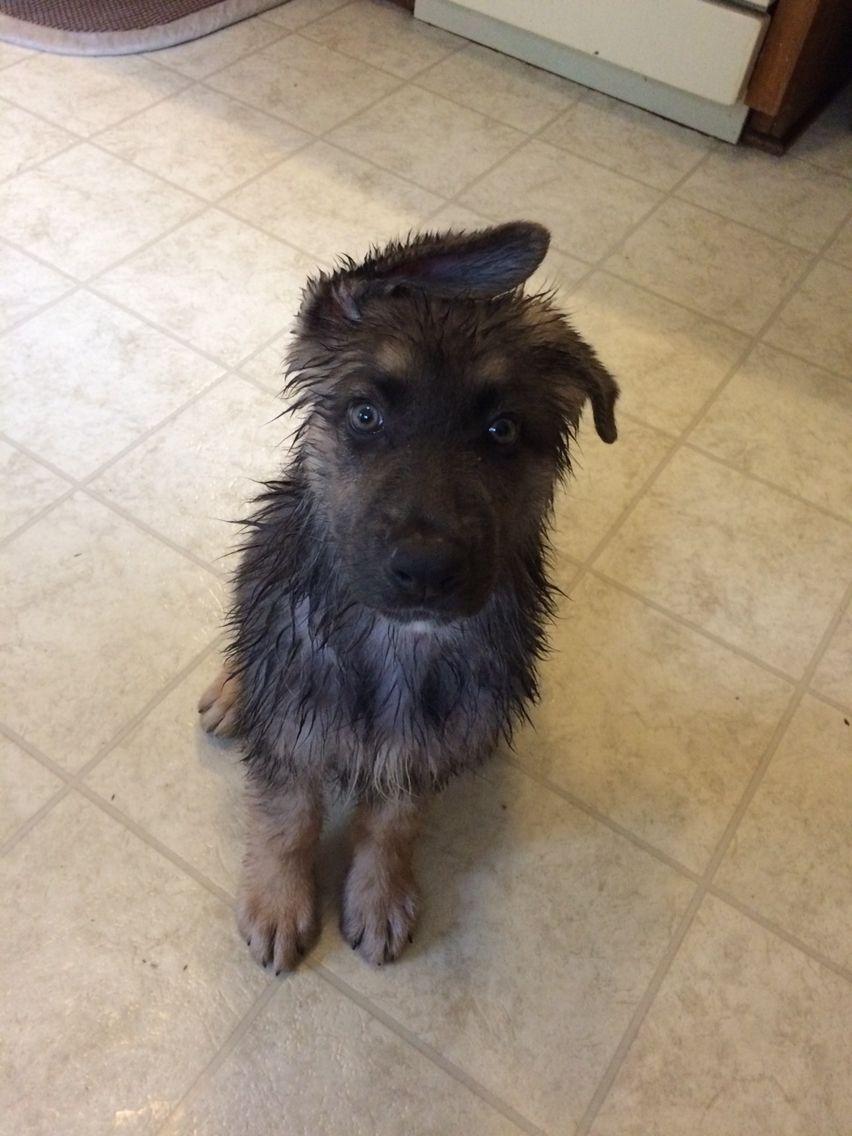 12 Week Old First Bath Blue German Shepherd Puppy