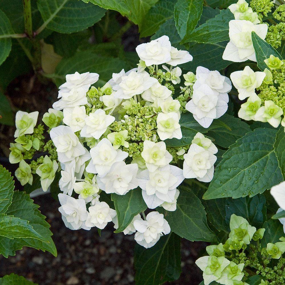 hydrangea macrophylla wedding gown   hydrangea macrophylla