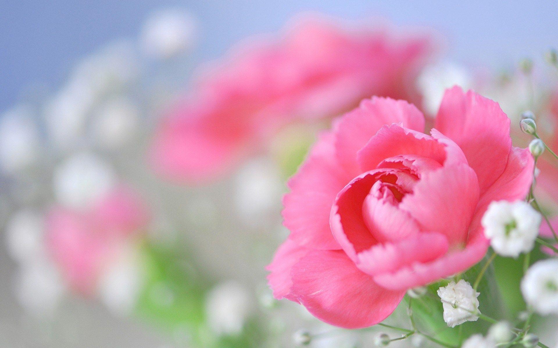 Peony Flower Wallpapers Wallpaper Cave Цветы, Розы и Пионы