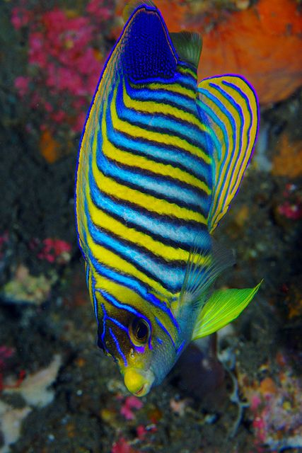 Regal Angelfish With Images Beautiful Sea Creatures Ocean Animals Sea Fish