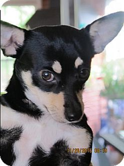 Tampa Fl Corgi Chihuahua Mix Meet Gilligan S Dog Adoption