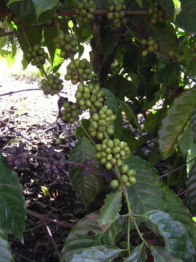 咖啡因 Green coffee bean extract, Green coffee bean, Green