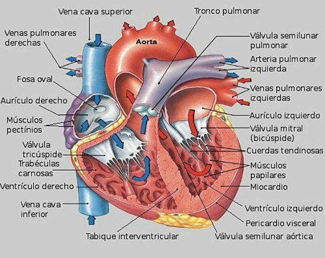 Repaso anatomía y fisiología cardiovascular : febrero 2018