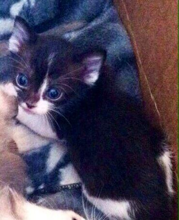 Black White Straight Eared Scottish Fold Female Scottish Fold Scottish Fold Kittens Kittens