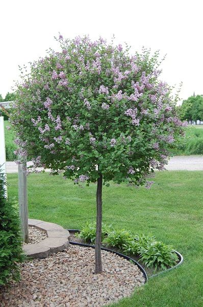 Grafted lilac tree 8 tall full sun requires little for Small decorative evergreen trees