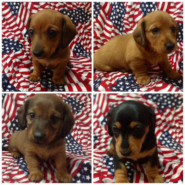 Doxin Puppies Doxie Puppies Dachshund Puppies