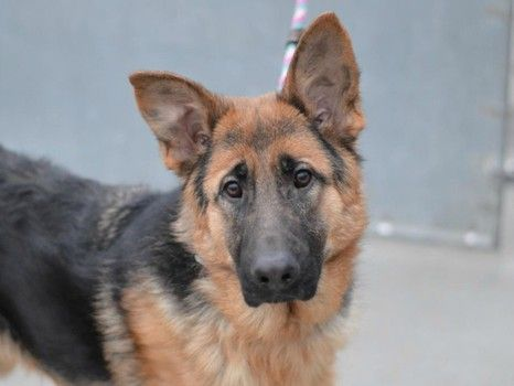 Two German Shepherds Surrendered To Nyc Shelter After Owner Died