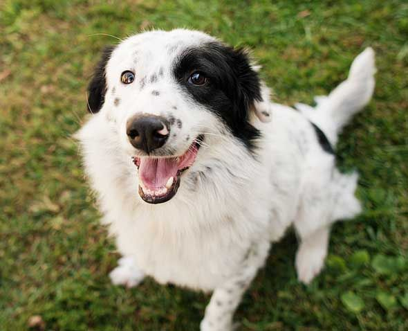 12 Imperative Border Collie Training Steps and Commands
