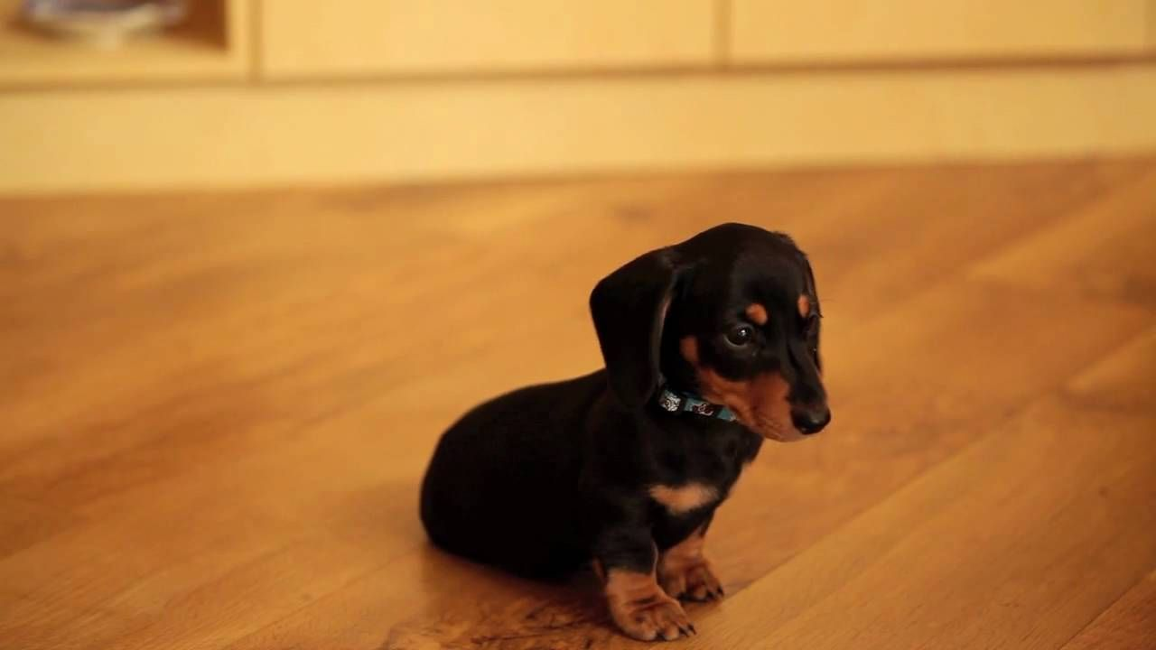 So Adorable Bentley Miniture Smooth Hair Dachshund Puppy