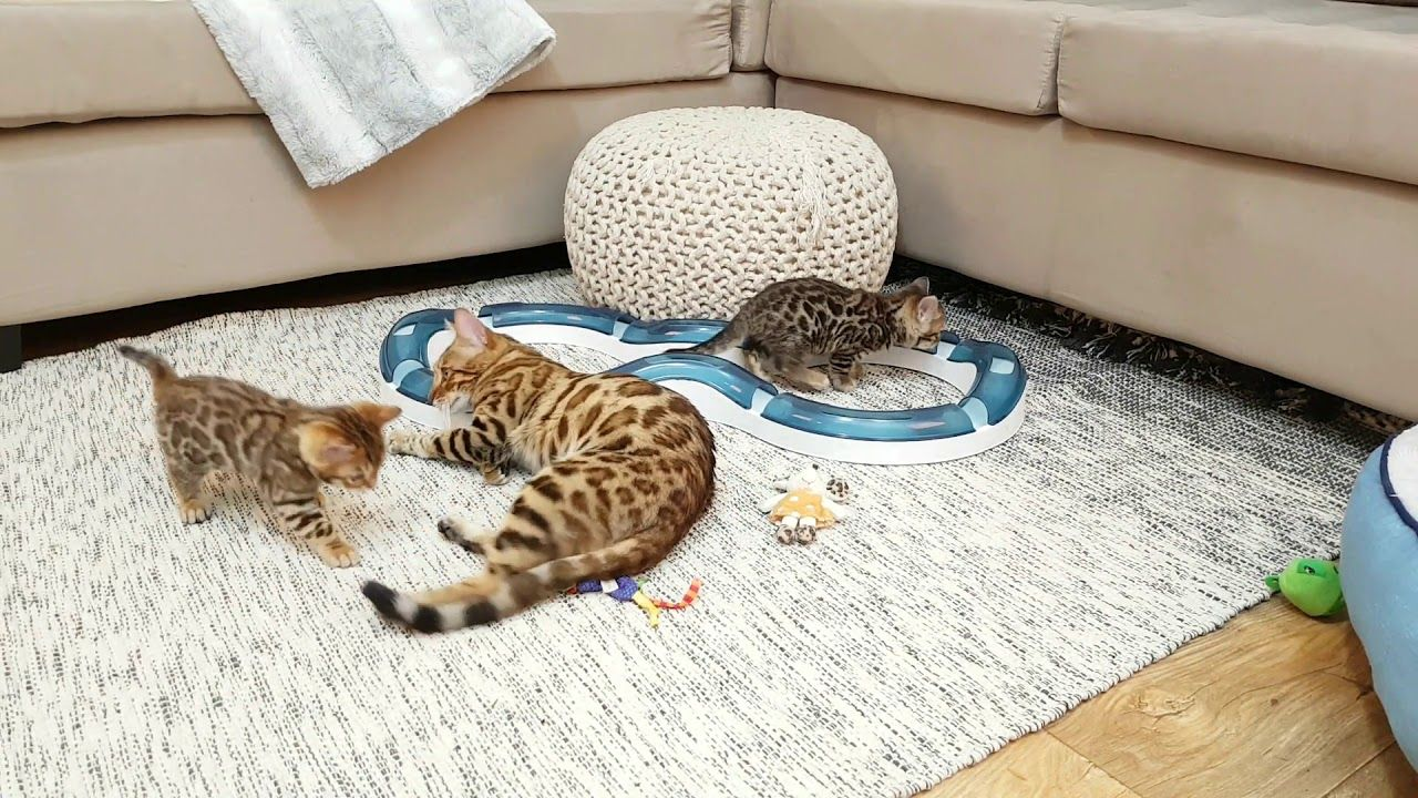 Meet The Bengal Cats And Kittens Of Ashmiyah Bengals Bengal Cats Australia What More Could One Want In Life We Ho Bengal Kitten Bengal Cat Cats And Kittens