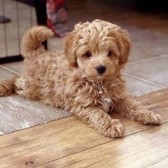 Bolonoodle Puppies ⋆ Mini Doodle Dogs