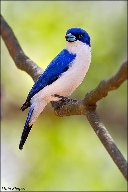 Blue Vanga (Cyanolanius madagascarinus) Male