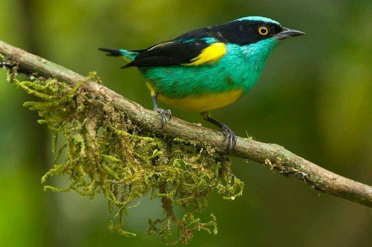 Yellow-tufted Dacnis (Dacnis egregia)